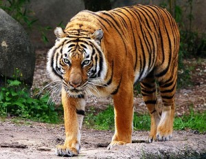 corbetts-tiger